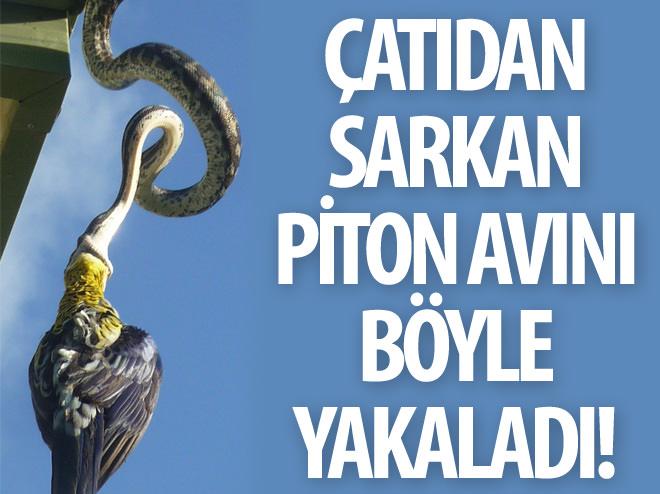PİTONUN MÜTHİŞ AVCILIĞI!