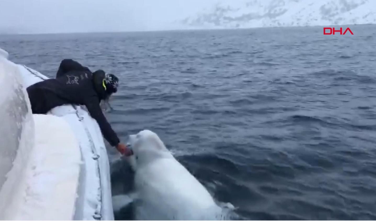 Denizciler beyaz balinayla oyun oynadı sosyal medyada milyonlarca kişi o anları izledi |Video