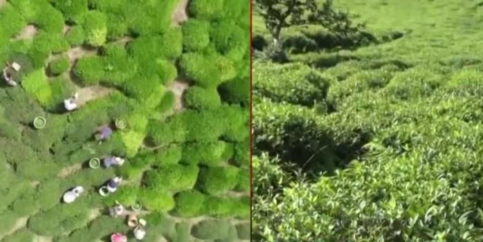 Türk çayı dünya sofralarında! 100 ülkeye 12 milyon dolara yakın çay ihraç edildi